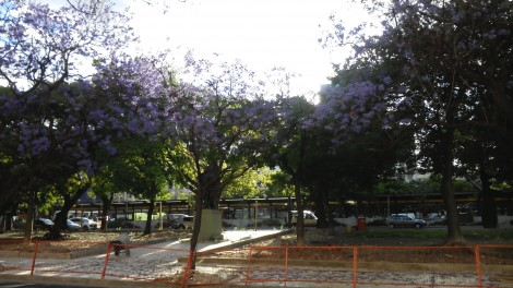 Jacaranda in Buenos Aires